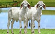 Geneal entrega seus primeiros clones da raça Guzerá